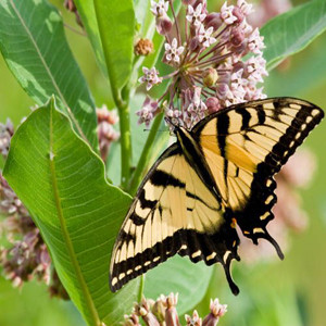 A Monarchs Common Milkweed Wildflower