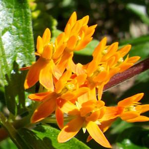 A Monarchs Butterflyweed Wildflower