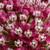 A Monarchs Swamp Milkweed Wildflower