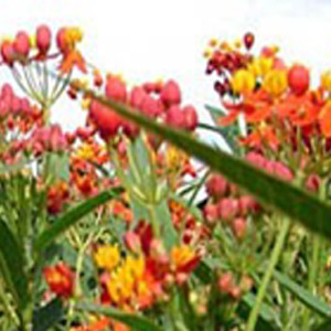 A Monarchs Mexican Milkweed Tropical Wildflower