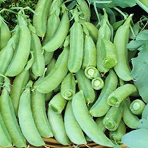Super Sugar Snap Pea