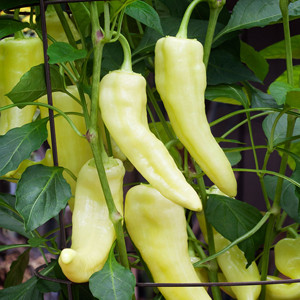 Banana Sweet Bell Pepper