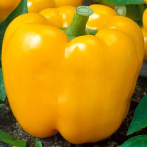 Golden California Wonder Bell Pepper