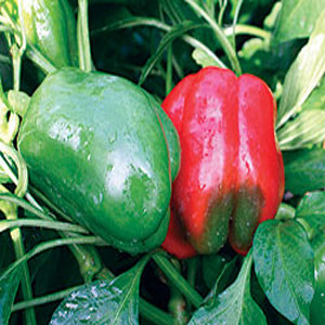 Lady Bell Sweet Bell Pepper