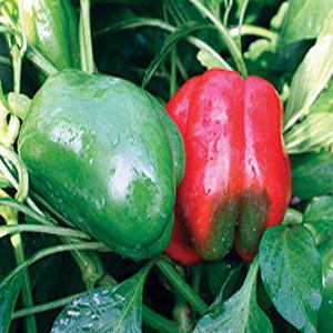 Lady Bell Sweet Bell Pepper