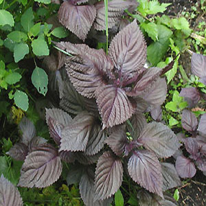 Shi-So Japanese Red Leaf Perilla Greens