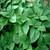 Shi-So Japanese Green Leaf Perilla Greens