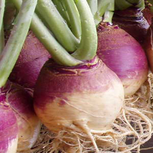 American Purple Top Rutabaga