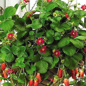 Container Patio Tarpan ABZ Strawberry