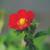 Ruby Ann Strawberry ABZ