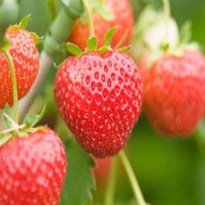 Alexandria Fragaria Strawberry
