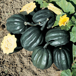 Table Ace F1 Winter Acorn Squash