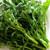 Early Fall Rapini Broccoli Raab