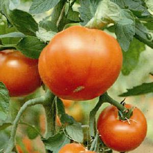 Mountain Spring F1 Tomato