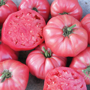 Brandywine Sudduth's Strain Heirloom (PL) OP Tomato