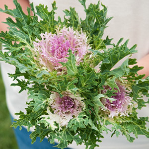 Ornamental Kale Flowering-Feather Kale Crane King White