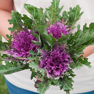 Ornamental Kale Flowering -Feather Kale Crane Queen Red
