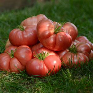 Heirloom Marriage™ Big Brandy Tomato