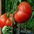 Burpee Big Boy F1 Tomato