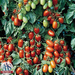 Juliet F1 Tomato