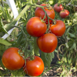 Abraham Lincoln Original OP- Heirloom Tomato Seeds
