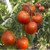 Abraham Lincoln Original Tomato