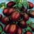 Black Plum OP- Heirloom Tomato
