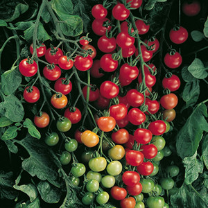 Cherry- Super Sweet 100 Cherry Tomato