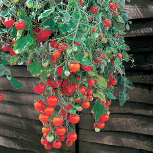 Cherry-Tumbling Tom - Cherry Tomato