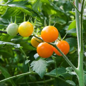 Cherry-Sun Sugar - Cherry Tomato