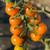 Cherry-Sun Gold - Cherry Tomato