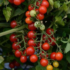 Cherry-Candyland Red- Cherry Tomato