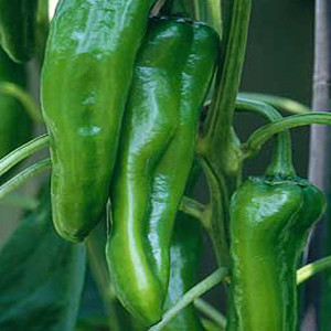 Corno Verde' Green Horn Sweet Bell Pepper