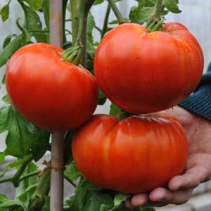 Delicious -OP- Heirloom Tomato