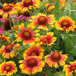 Gaillardia Mesa Bright Bi-Color