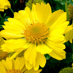 Gaillardia Mesa Yellow