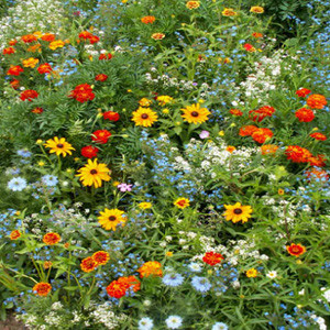 Blooming Color Wildflower Seed Mix