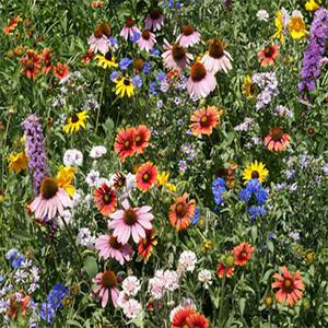 Northeast Wildflower Seed Mix