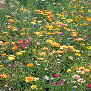 Southwest Wildflower Seed Mix