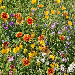 Western Wildflower Seed Mix