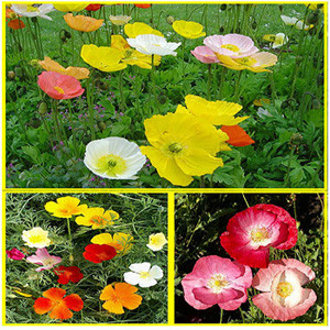 Poppin' Poppies Wildflower Seed Mix