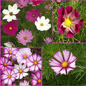 Everywhere Cosmos Wildflower Seed Mix