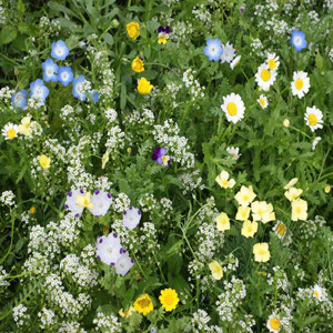 Alternative Lawn Wildflower Seed Mix
