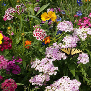 Butterfly Flower Wildflower Seed Mix