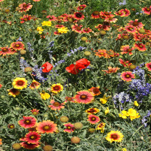 Dry Location Wildflower Seed Mix