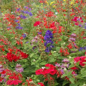 Hummingbird Wildflower Seed Mix
