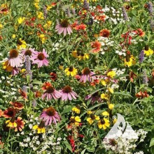 Xeriscape Eastern US Wildflower Seed Mix