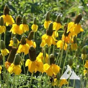Xeriscape Western US Wildflower Seed Mix