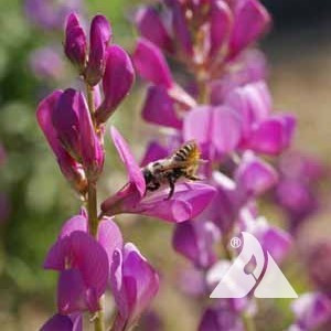 Western Honey Bee Pollinator Seed Mix