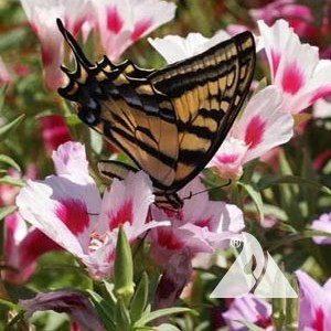 Butterfly Flower Pollinator Seed Mix